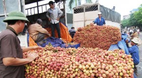 Hapro cam kết tiêu thụ 1.000 tấn vải thiều Thanh Hà