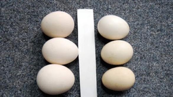 Mẹo hay để phân biệt trứng gà ta và gà công nghiệp