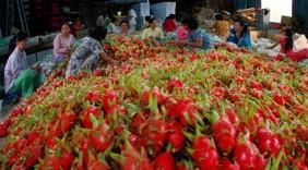 Thanh long 'sạch' Chợ Gạo được bao tiêu đầu ra