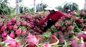Bước tiến mới cho thanh long Việt Nam vào thị trường Australia