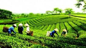 Chè Việt xuất ngoại: Không thể lờ đi tiêu chuẩn toàn cầu