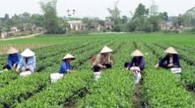 Chè Việt Nam lên ngôi