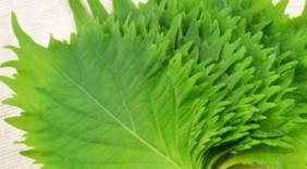 Những lá rau Việt cho triệu đô ở nước ngoài