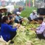 10.000 quả bắp phục vụ Ngày hội bắp nếp Quảng Nam