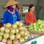 Đặc sản vú sữa Phong Điền cho hiệu quả kinh tế cao