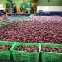Chính thức xuất khẩu khoai lang Việt sang Thái Lan