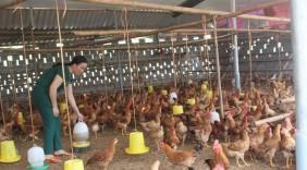 Khởi nghiệp từ nuôi gà