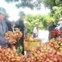 Thanh Hà (Hải Dương): Thu hút nhiều doanh nghiệp nước ngoài thu mua vải thiều