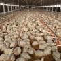 Hùng Nhơn: doanh nghiệp 11 năm xây dựng chuỗi liên kết xuất xuất gà sang Nhật