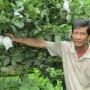 Làm giàu ở nông thôn: Thành tỷ phú từ giống ổi