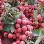 Gần 50.000 tấn vải quả tươi Việt Nam Xuất khẩu sang Trung Quốc