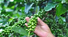 Cà phê Cầu Đất tìm đầu ra