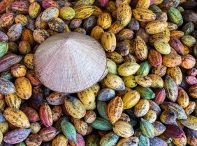 Cacao hữu cơ Việt Nam lần đầu xuất đi Nhật