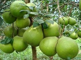 Đồng Nai phát huy thế mạnh trồng cây bưởi