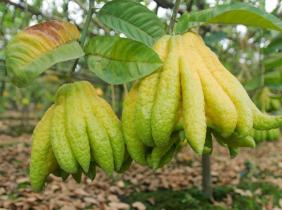 Huyện Hoài Đức (Hà Nội): Hình thành vùng sản xuất trái cây chuyên canh, hướng tới xuất khẩu