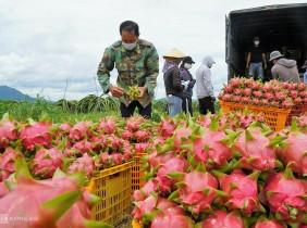Thanh long Bình Thuận chính thức được bảo hộ chỉ dẫn địa lý tại Nhật Bản