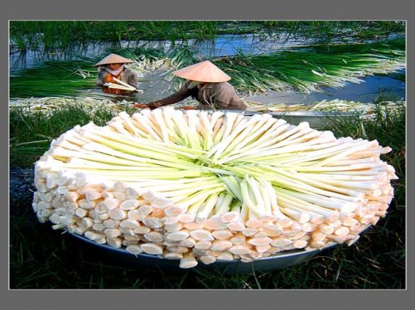 Bồn bồn U Minh