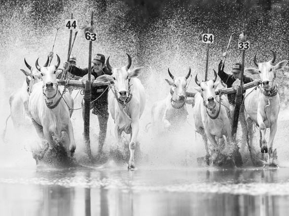 Lễ hội Đua bò của đồng bào Khmer ở Châu Đốc, An Giang.