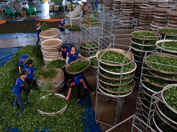 Sản xuất trà tại doanh nghiệp trà Tam Dương