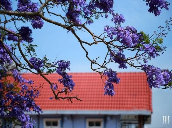Mùa hoa phượng tím ở Đà Lạt