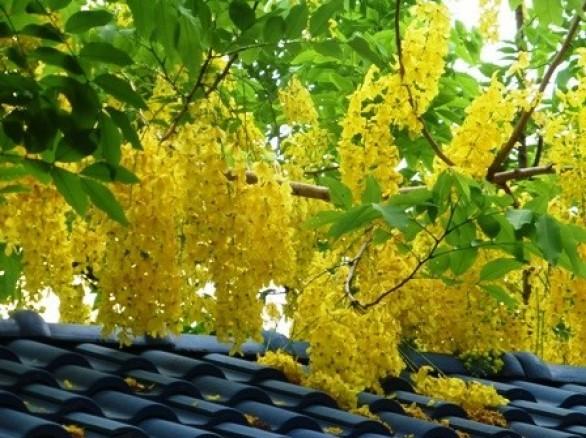 Hà Nội rực vàng mùa hoa Muồng hoàng yến