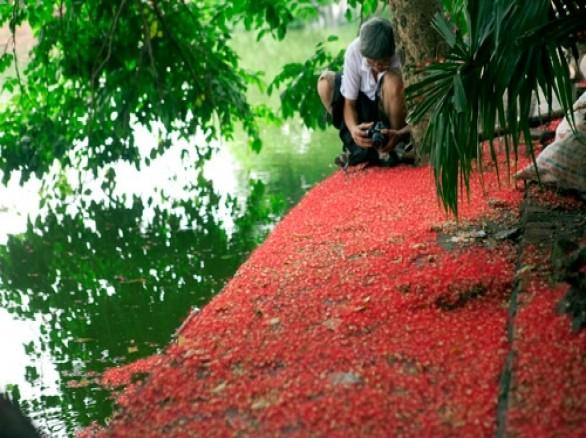 Hoa lộc vừng trải thảm đỏ ở Hồ Gươm