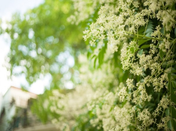 Tháng 8, trở về tuổi thơ với hoa dâu da xoan