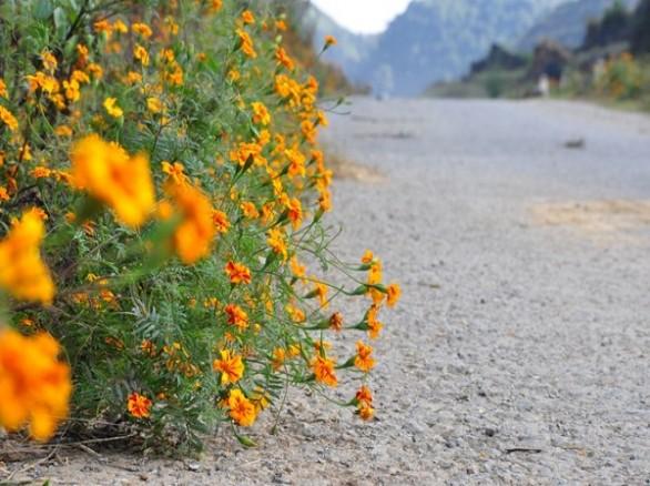 Tháng 10 mùa hoa cúc dại nhuộm vàng đá Hà Giang