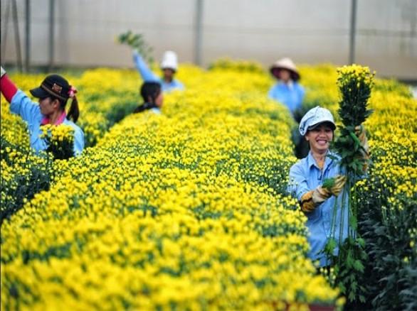 Hoa cúc rực rỡ ở làng hoa Tây Tựu