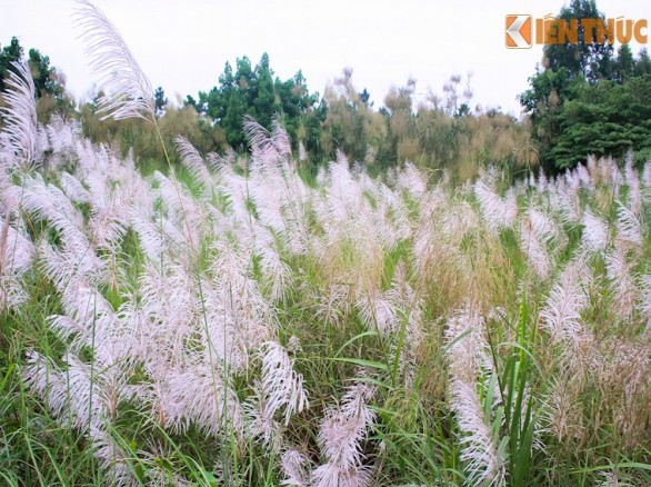 Sắc trắng hoa lau ven sông Hồng đầy mơ mộng