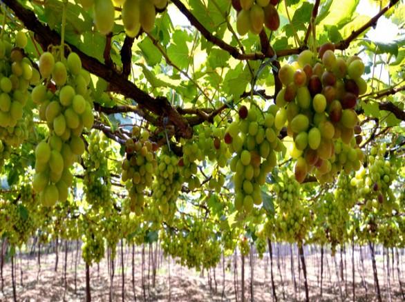 Vườn nho Ba Mọi - Ninh Thuận
