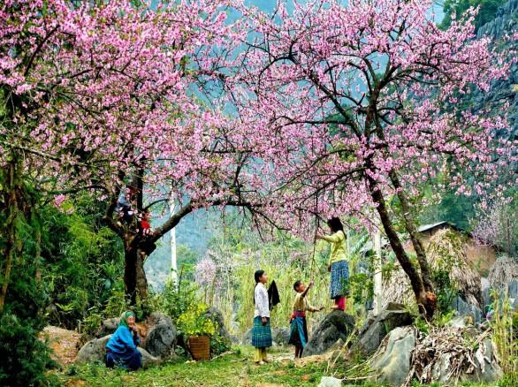 Đẹp mê hồn mùa hoa đào Mộc Châu