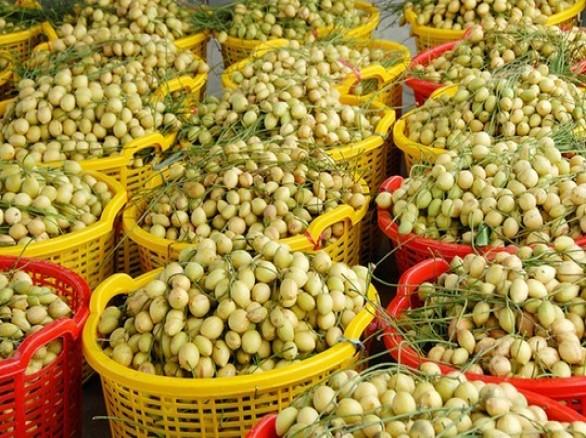 Thu hoạch trái dâu da miền Tây