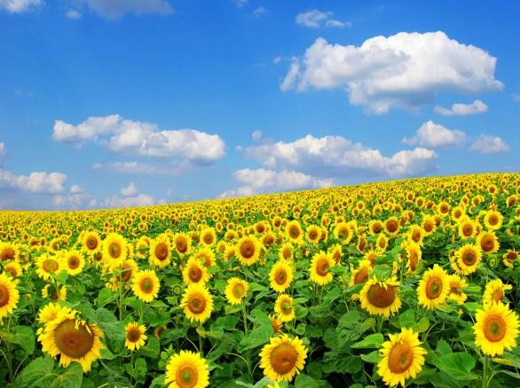 Thiên đường hoa mặt trời ở Nghệ An