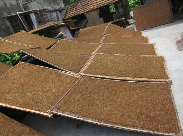 Làng nghề trồng thuốc lào ở Tiên Lãng
