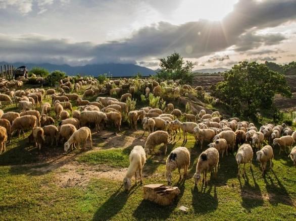Thảo nguyên bao la, rộng lớn với những đàn cừu ở Ninh Thuận