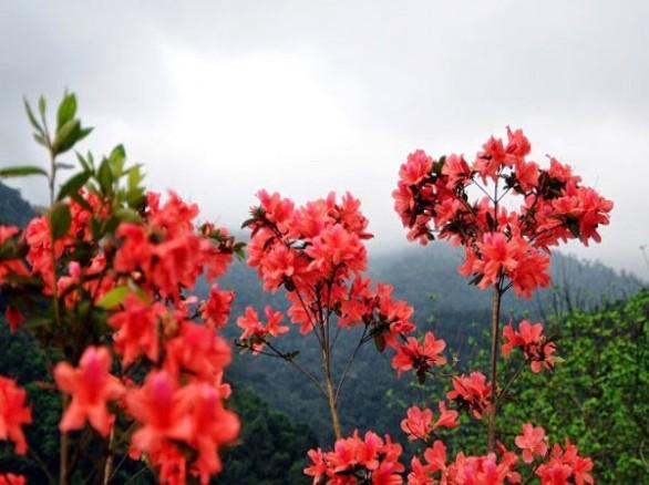 Hoa đỗ quyên - Nét duyên ngầm của người Lào Cai
