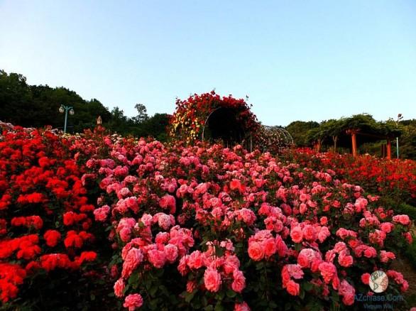 Ngẩn ngơ trước hoa hồng Sapa