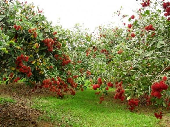 Vườn trái cây Trung An - Củ Chi