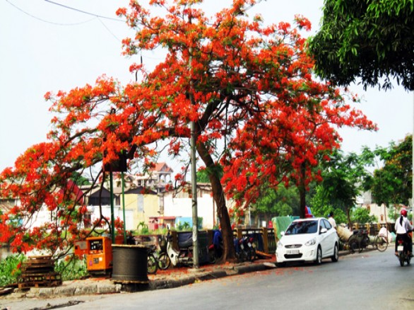 Tháng 5 - Mùa hoa phượng đỏ