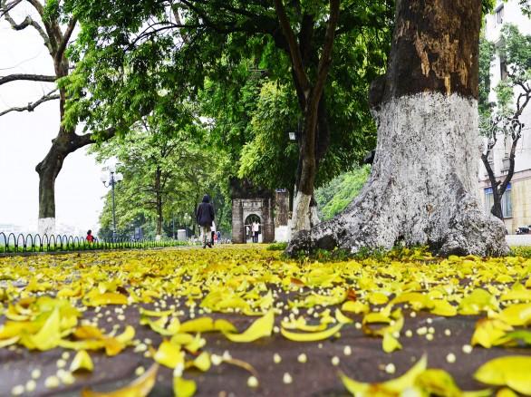 Hà Nội rực vàng mùa lá sấu rụng