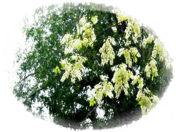 Tháng 7 mùa hoa sấu, hoa xà cừ