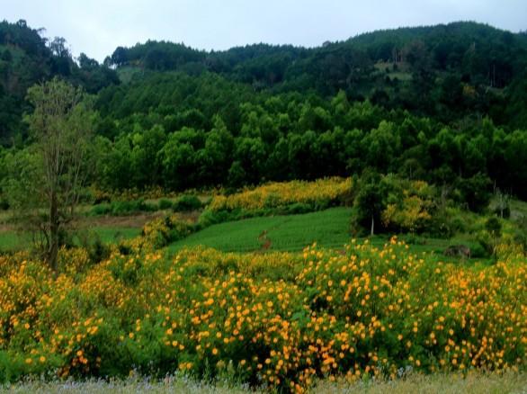 Tháng 11 Đà Lạt thương nhớ vì màu hoa dã quỳ vàng