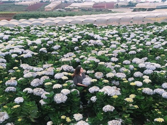 Ngắm cánh đồng hoa cẩm tú cầu ở Đà Lạt