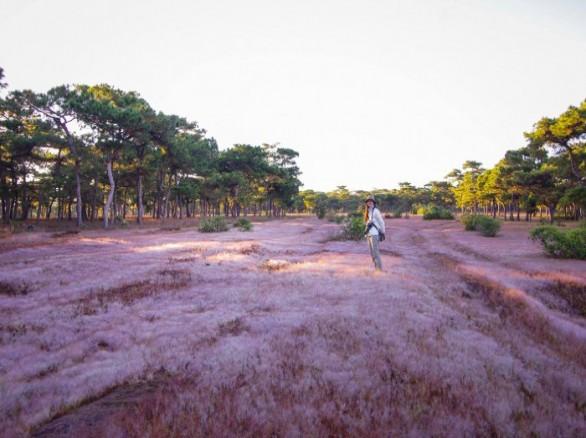 Đồi cỏ hồng thơ mộng ở Gia Lai