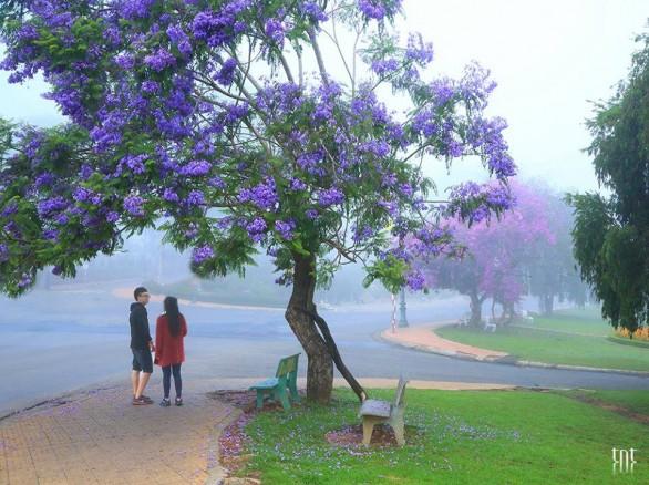 Đẹp ngất ngây mùa phượng tím ở Đà Lạt