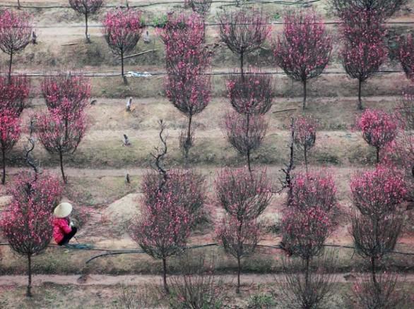 Thơ mộng vườn đào Nhật Tân