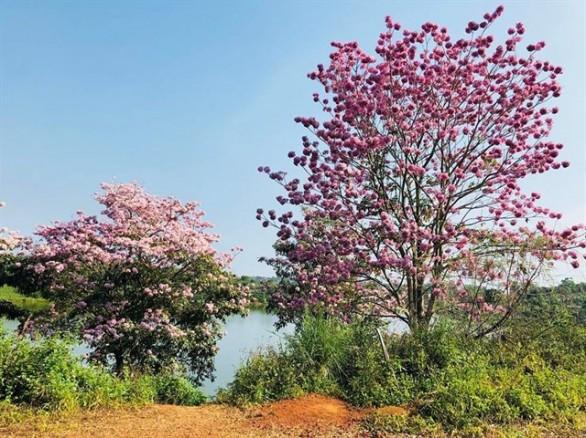 Đến Bảo Lộc ghé đồi hoa kèn hồng nở rực rỡ