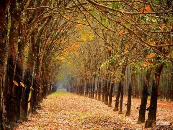Bạt ngàn rừng cao su Bù Đăng