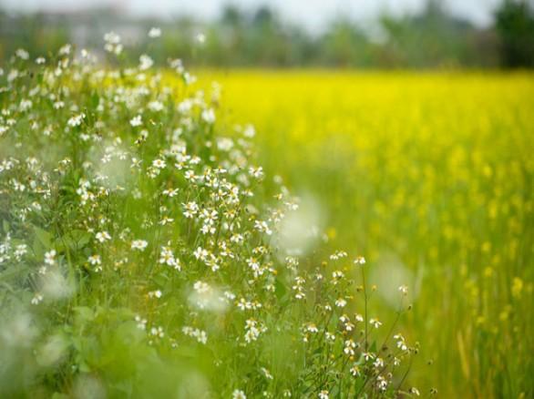 Cánh đồng hoa cải ở Hà Nội